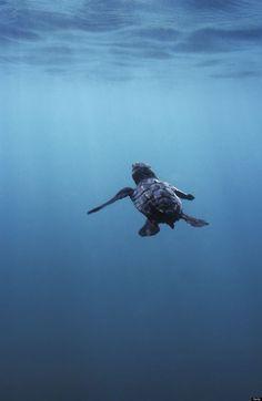 Swimming baby sea turtle
