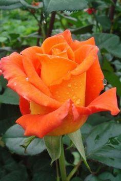 Beautiful Rose Flowers, Pretty Roses, Amazing Flowers, Gothic Garden, Flower Phone Wallpaper, Rainbow Roses, House Plants Decor, Belleza Natural, Orange Flowers