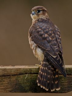 MERLIN. A speedy small falcon, similar in shape to the peregrine but only two thirds the size. Mainly breeds in the uplands of Northern Ireland, Scotland, Wales and northern England, although small numbers also nest in the SW of England.In general Merlins are ground nesting birds; however, they will use the abandoned nests of other birds of prey. Even though the population is rising slowly the Merlin still remains a rare and elusive bird.