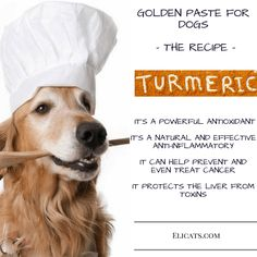 Turmeric dogs dose Golden Paste - http://elicats.com/turmeric-dogs-dose-golden-paste/ Turmeric dogs dose Golden Paste Turmeric dogs dose Golden Paste: Turmeric's beneficial properties for cats and dogs. Adding turmeric to cat and dog foods provides a wide range of benefits. Turmeric is a spice derived from Curcuma longa rhizome (also called Indian saffron), it is a perennial...