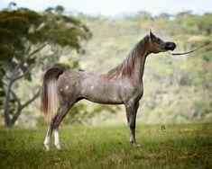 Rose grey Arabian, with chubari spots.