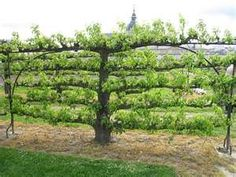 Can grow fruit trees against a fence or wall like this.............