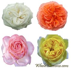 Wholesale Garden Roses - WholeBlossoms.com - Buy Garden Roses