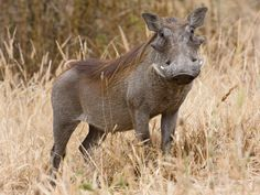 """The warthog (Phacochoerus africanus) is a wild member of the pig family that lives in grassland, savanna, and woodland in Sub-Saharan Africa"""