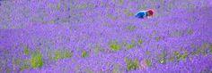 Lavender Harvest Begins