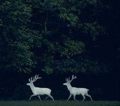 White deer. Love them. I wonder if they know they are awesome.