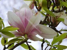 Magnolia early spring. Μανόλια, πρώτες μέρες της άνοιξης.