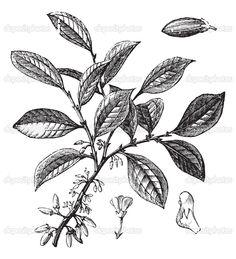 http://static6.depositphotos.com/1041725/672/v/950/depositphotos_6725864-Cocaine-or-Coca-or-Erythroxylum-coca-vintage-engraving.jpg