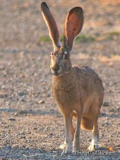 A pet Hare with really big ears