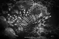 My favourite is the Lyon Fish    #sea #scubadiving #Bluewater #picoftheday #seaside #underwater #underwaterphoto #underwaterworld  #puravidadivingkohtao #asia #sony #scuba #scubadiver #pasionbajopresion #photo #underwaterphotography #lyonfish