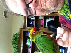 """The latest blessing to our flock. This beautiful gold-capped conure we will call Spero which is Latin for """"to Hope."""" she is undoubtedly one of the sweetest birds in the world. A jerk dumped her at a shelter because """"it didn't talk."""" What a gentle and charismatic little soul. I'm glad she's come to be with us."""