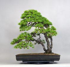 五葉松(三幹) - 盆栽 -【garitto】