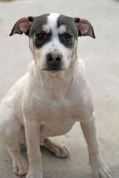 Dusty is an adoptable Pit Bull Terrier Dog in Sierra Vista, AZ. Hi I am a young, energetic boy. I love to play with other dogs and go for walks. I love those little people they call children. I want t...