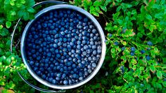 Blueberry Growing Guide, beautiful in the landscape and delicious straight off the bush, this no-fuss fruit is a natural for the organic garden. Growing Blueberries, Organic Blueberries, Blueberry Plant, Blueberry Bushes, Fruit Garden, Edible Garden, Veg Garden, Organic Vegetables, Growing Vegetables