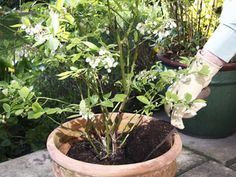 Growing blueberries in pots