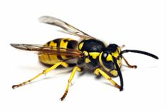 Wasp, commonly called a yellow-jacket. Nests grey-brown paper.  Yellow jackets are an important predator species.  They prey on other insects, like flies, mosquitoes and caterpillars. They can be aggressive.
