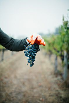 Picking (Wine) Grapes in Healdsburg
