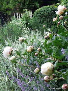 Peonies in a French country garden Moon Garden, Dream Garden, Back Gardens, Outdoor Gardens, Beautiful Gardens, Beautiful Flowers, Garden Borders, Garden Border Plants, White Gardens