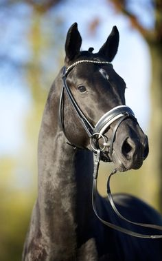 'Glock's Toto JR' son of Totilas, registered Dutch Warmblood. Dutch Warmblood, Warmblood Horses, Dressage Horses, All The Pretty Horses, Beautiful Horses, Horse Riding Tips, Trail Riding, Horse Tips, Majestic Horse