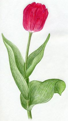 how to draw a tulip freehand