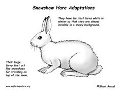Interesting facts about the behavior and characteristics of the Snowshoe Hare. Description from adapteri.adapters-shops.com. I searched for this on bing.com/images Arctic Fox Habitat, Arctic Hare, Arctic Fox Adaptations, Animal Adaptations, Tao, Snowshoe Hare, Artic Animals, Art In The Park, Animal Science