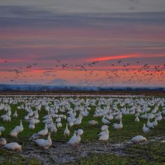 Snow geese in the Skagit Valley Washington state.