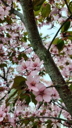 Cherry Blossom, Plants, Plant, Cherry Blossoms, Planets