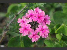 Verbena Verbena, Flowers, Plants, Plant, Royal Icing Flowers, Flower, Florals, Floral, Planets