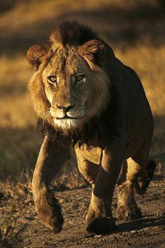 Photograph Charging Lion by Rudi Hulshof on 500px