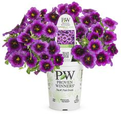 Proven Winners - Superbells® Grape Punch™ - Calibrachoa hybrid purple purple with a large, deep plummy-black eye plant details, information and resources. Proven Winners, Container Flowers, Petunias, Plant Care, Yard Landscaping, Punch, Plants, Outdoors, Gardening