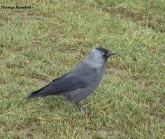 Choucas des tours - Jackdaw - Corvus monedula by Thomas Humbert Choucas Des Tours, Jackdaw, Bird, Drawings, Animals, Animales, Animaux, Birds, Sketches