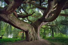 © Emmanuel Boitier - L'arbre de l'année 2015 : un cèdre centennaire de la Vallée-aux-Loups à Châtenay-Malabry