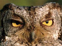 "...""Yeah, yeah, whatever.  Just go away already""  Western Screech Owl"