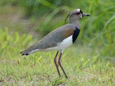 Southern Lapwing (Vanellus Chilensis) by NewJerseyBirds.
