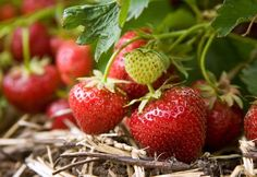 Starting a strawberry patch might seem like a lot of work, it's really not when you consider that well-cared for strawberries can give you years of delicious fruits.