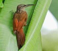 Birds of the World: Cocoa woodcreeper