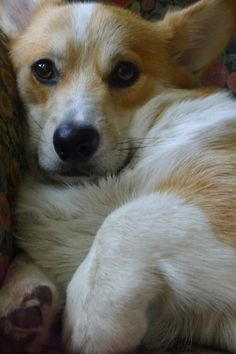"Corgi - ""One of the greatest gifts we receive from dogs is the tenderness they evoke in us."""