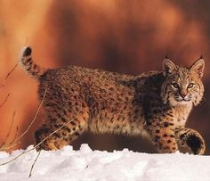 Greg Rhodes uploaded this image to 'smallcats'.  See the album on Photobucket.