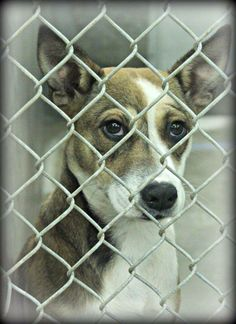 06/24/14 **URGENT ODESSA** Heeler/Shepherd mix female less than a year old.  Kennel A21 Available NOW ****$51 to adopt  Located at Odessa, Texas Animal Control. 432-368-3527