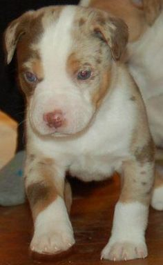 pit bull boxer mix puppy precious