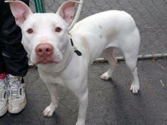 SAFE --- URGENT - Manhattan Center    DELPHINE - A0988518   FEMALE, WHITE, PIT BULL MIX, 1 yr, 6 mos  STRAY - STRAY WAIT, NO HOLD Reason STRAY   Intake condition NONE Intake Date 12/30/2013, From NY 10453, DueOut Date 01/02/2014  Original thread: https://www.facebook.com/photo.php?fbid=733407716672110&set=a.617938651552351.1073741868.152876678058553&type=3&permPage=1