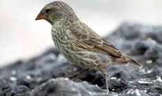 Galapagos Finch Genome Sequenced