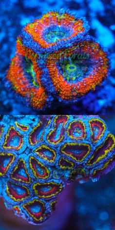 Coral and Live Rock 177797: Cornbreds Wonder Woman Acan - Wysiwyg - Frag - Live Coral -> BUY IT NOW ONLY: $199.99 on eBay!