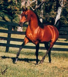 Polish Arabian-this is Aladdinn, he was my Tor's (Aladdinn's Victor) sires sire.   This line of Arabian horse was developed in Poland and has a more substantial body type and size, while retaining the classic Arabian traits.