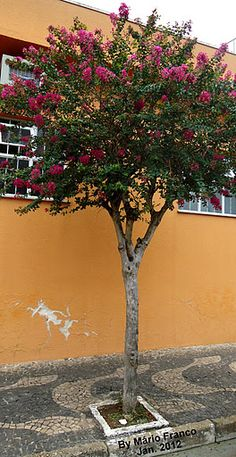 Lagerstroemia Indica, May Garden, Myrtle, Decoration, Golden Hour, Diana, Potted Trees, Flowering Bushes, Indoor Vertical Gardens