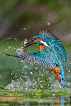 Common Kingfisher with catch