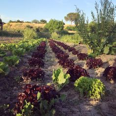 Ecofriendly orchards in our town Ontinyent. Visit them with us and get #fresh #vegetables  #eatclean #green #eco #bio #slowtravel #cookingholidays