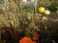 Tomates Octubre