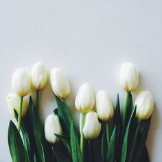 a row of white tulips