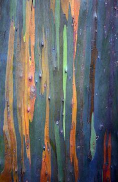 Rainbow Eucalyptus: Eucalyptus deglupta [Family: Myrtaceae]